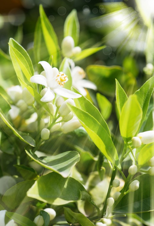 White neroli blossoms illuminated by sunlight
